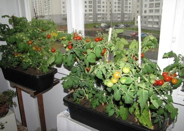 pomidory-balkon-1