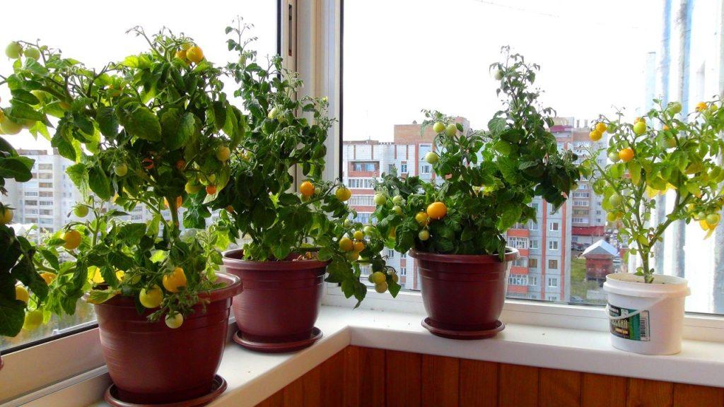 pomidory-balkon